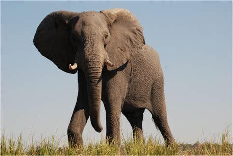 african elephant facts  kids pictures diet habitat