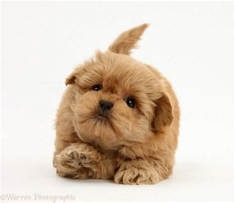 puppy puppy karelian puppies puppies puppy