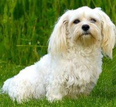 pros and cons of havanese breed bolognese breed adorable pets hair search and gucci