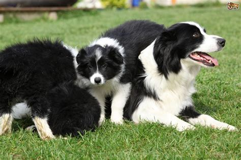 puppy imprinting the different stages of a puppy s imprinting process pets4homes