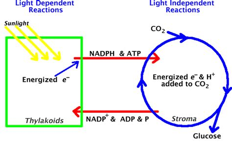 review of the light dependent reactions