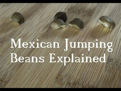 Jumping Beans 8 F mexican jumping beans explained