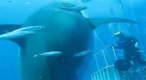 Raksasa Dari Jogjapetra Togamasfree Sul ngeri hiu putih terbesar di dunia tertangkap kamera citizen6 liputan6