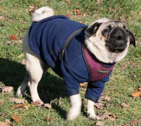 pug barking sounds different types of barking barking sounds breeds picture