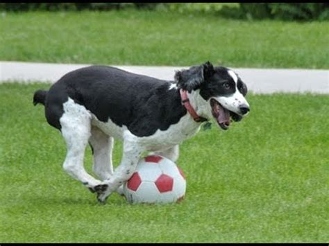puppy football quot dogs soccer football compilation quot cfs