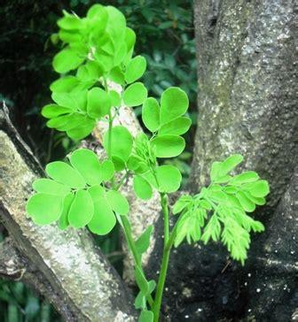 Benih Daun Kelor edukasi tentang herbal manfaat daun kelor sebagai obat