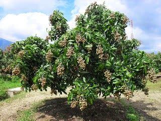 Bibit Kelengkeng Rasa Durian tabulot lengkeng longan tabulot