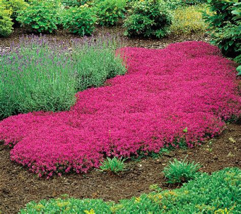 Bibit Benih Seeds Creeping Thyme For Ground Cover best plants for groundcover