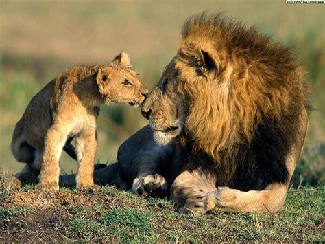 leones imagenes grandes que comen los leones donde viven como nacen
