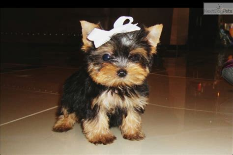 yorkie puppies dallas tx prada terrier yorkie puppy for sale near dallas fort worth