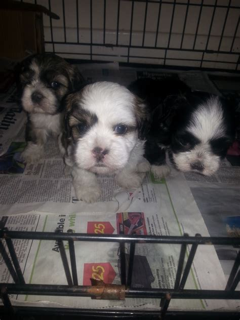 shih tzu barking 7 8 shih tzu puppies 1 left reduced price barking essex pets4homes