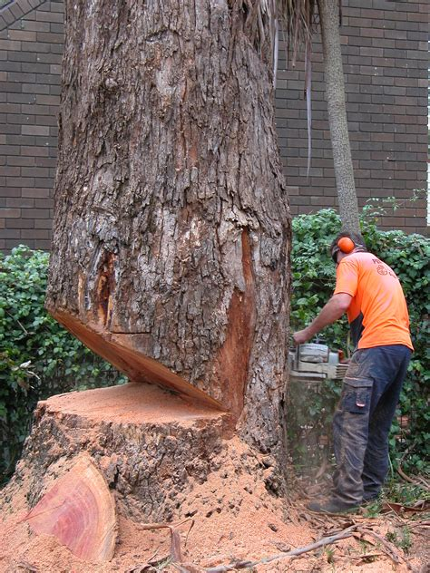 cutting down a tree in sections image gallery humboldt notch
