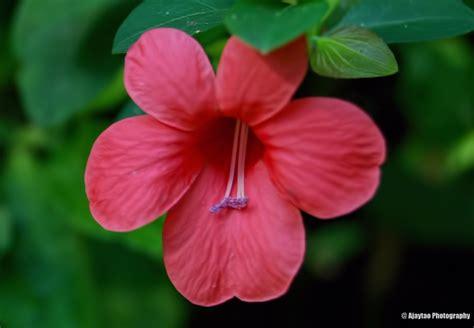 botanical name hibiscus rosa sinensis ajaytao botanical photography