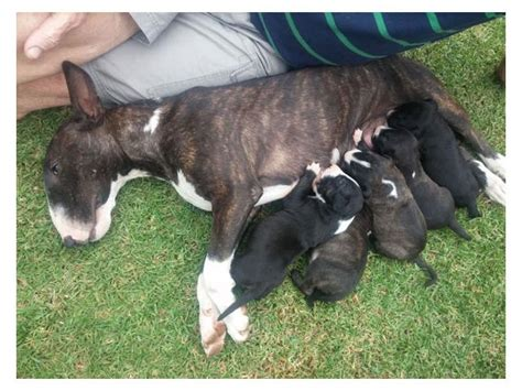 bull terrier puppy for sale bull terrier puppies sale breeds picture