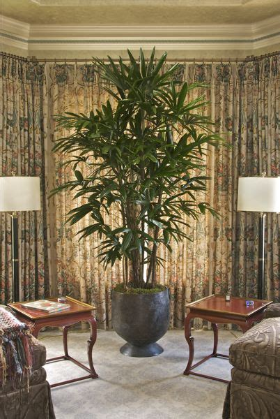 beautiful lady palm rhapis palm  images