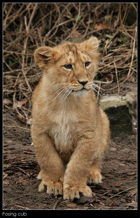 imagenes de leones para ni os leones bebes