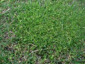 procumbent pearlwort identify control this lawn weed