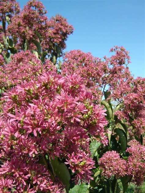 ornamental trees scientific name heptacodium miconioides