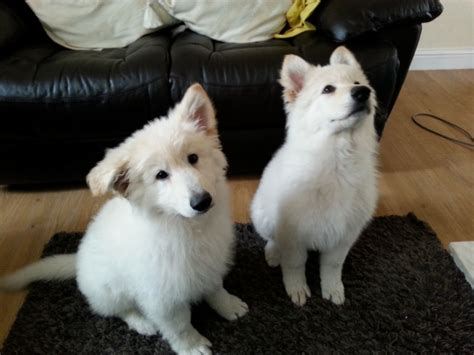 white german shepard puppy white german shepherd puppies houghton le tyne and wear pets4homes