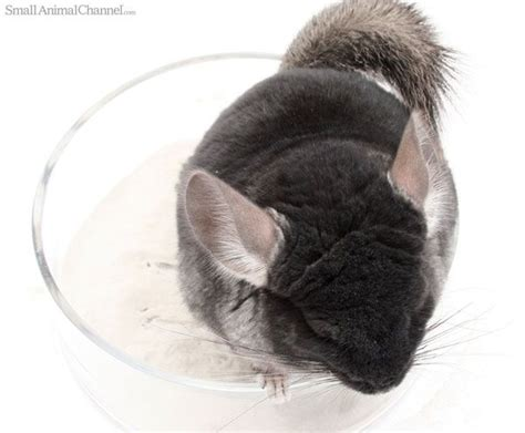 11 strange but common chinchilla behaviors exotics pocket pets pinterest eyes the o