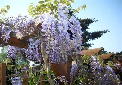 blühende kletterpflanzen winterhart mehrjährig clematis oder gei 223 blatt hoch hinaus mit einer
