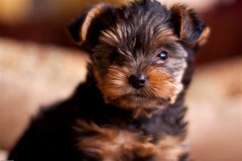 yorkie wallpapers yorkie breed hd desktop wallpapers 4k hd