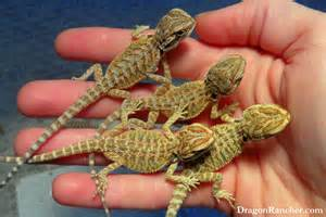 baby bearded dragon colors images amp pictures becuo