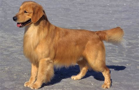 golden retriever weight golden retriever