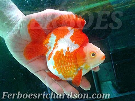 Pakan Yang Bagus Untuk Ikan Koki cara pemeliharaan ikan koki ferboes