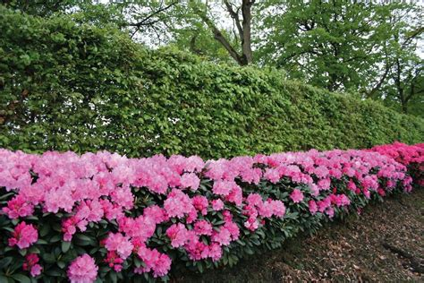 rhododendron hecke rhododendron roseum elegans 2 pfl kaufen otto