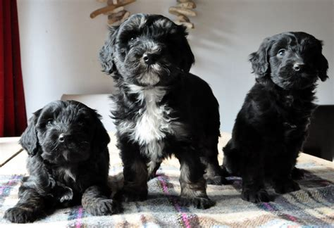 collie doodle puppies for sale colliedoodle puppies for sale lydney gloucestershire pets4homes