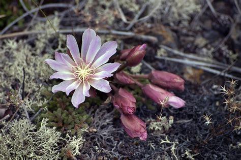 fiore artemisia artemisia pianta fiore come coltivarla propriet 224