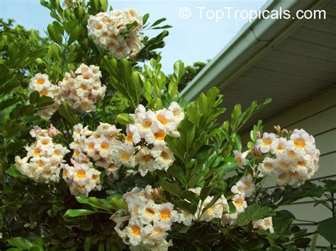 china doll plant for sale radermachera sp tree toptropicals