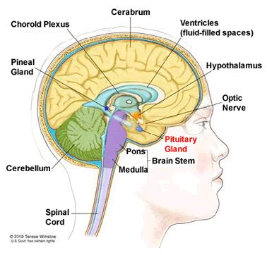 brain tumor diagram diagram of showing pituitary gland health