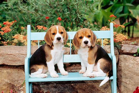 bench beagle beagle puppy animal stock photos kimballstock
