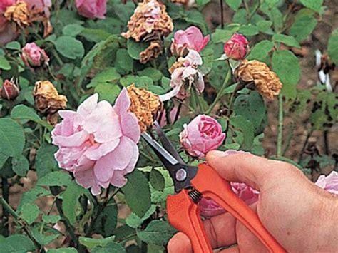imagenes de flores marchitas corta las flores marchitas de tus plantas
