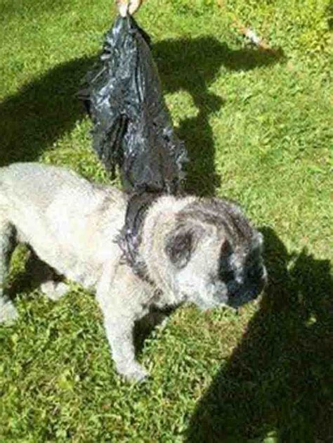 pugs buffalo ny witnesses pug thrown away like trash dogtime