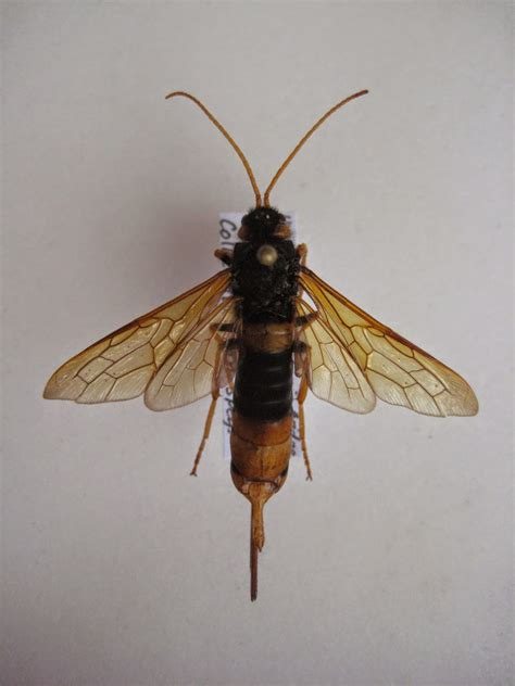 insects  britain giant wood wasp horntail britain
