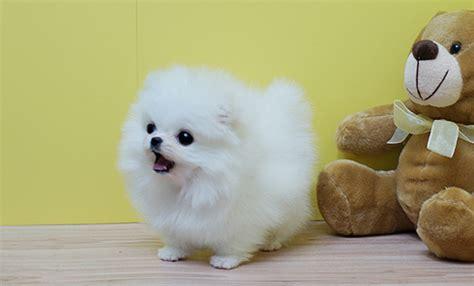 white fluffy pomeranian puppies fluffy pomeranian puppies search dogs white pomeranian