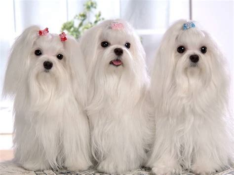 and white shih tzu 50 most beautiful shih tzu dogs for home golfian