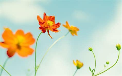 imagenes flores naranjas flor naranja hd 2560x1600 imagenes wallpapers gratis