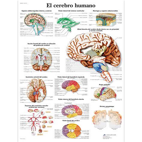 imagenes de el cerebro humano el cerebro humano 1001913 vr3615l cerebro y sistema