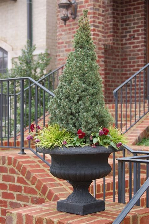 container christmass tree lancaster pa 78 best images about evergreens for containers as a topiary on trees and