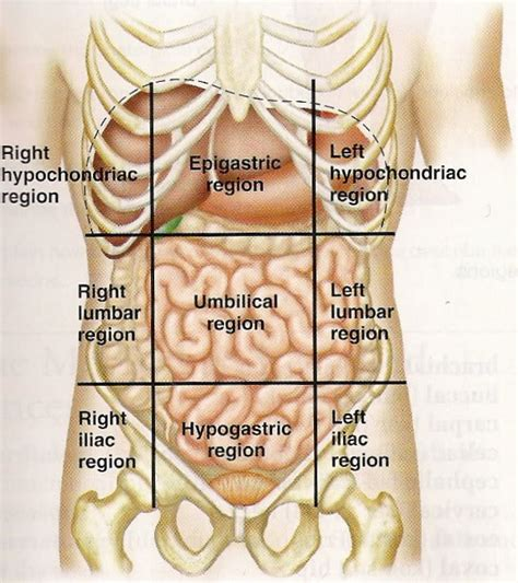 diagram of stomach human anatomy diagram abdomen search engine at