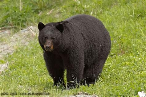 imagenes oso negro oso negro ursus americanus ecoregistros