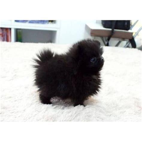 black mini pomeranian 17 best ideas about teacup pomeranian puppy on pomeranian puppy teacup