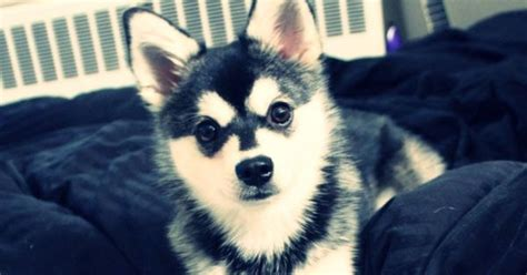 animal shelter puppies for sale there are plenty pomsky puppies for sale in miami florida to adopt and buy you can