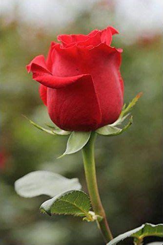 gambar bunga mawar merah pesonadunia rose flowers