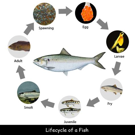 fish for life a life cycle of a fish worksheet the best and most