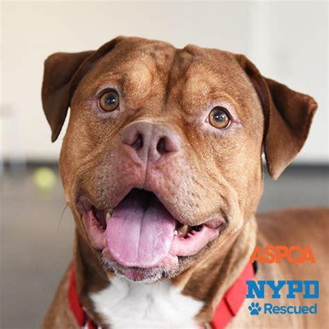 adopt puppies nyc adoptable dogs aspca
